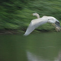 Heron Glide by Karol Livote
