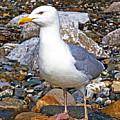 Heron Gull by Chris Smith