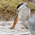 Heron Harpoon by Bob Kemp