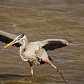 Heron - Hokey Pokey by Robert Frederick