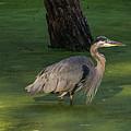 Heron In Dark Pond by Marv Vandehey
