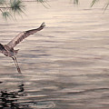 Heron In Flight by Debbie Homewood