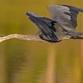 Heron In Flight by Marc Crumpler