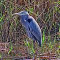 Heron In Marshes by Robert Brown