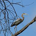 Heron In Tree  4998 by Jack Schultz
