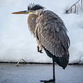 Heron On Ice by Albert Seger