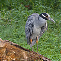 Heron On Log by Paula Ponath