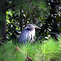 Heron On Pinetree by Inho Kang