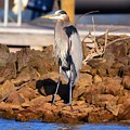 Heron On The Rocks by Lisa Wooten