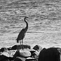 Heron On The Rocks by William Selander
