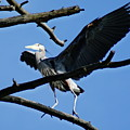 Heron Spreads Wings by Ben Upham III