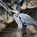 Heron Wading by J L  Gould