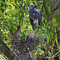 Heron With Chick In Nest by Kenneth Albin