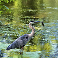 Heron With Fish by David Arment