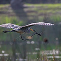 Heron With Nesting Material by Tom Claud