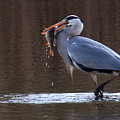 Heron With Perch by Bob Kemp