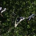 Herons Landing by Masami Iida
