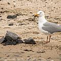 Herring Gull On The Beach by Kristia Adams