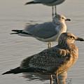 Herring Gull  by Phill Doherty