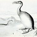 Hesperornis Regalis, Flightless Bird by Biodiversity Heritage Library
