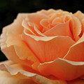 Hever Castle Peach Rose