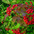 Hi Bush Cranberry Close Up by Joanne Smoley