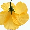 Hibiscus 2 by Jennifer Englehardt