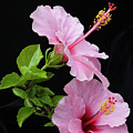 Hibiscus 7 V4 by George Sanquist