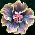 Hibiscus 9 by Barbie Corbett-Newmin