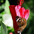 Hibiscus Aflutter by Corynne Hilbert