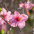 Hibiscus by American School