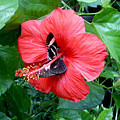 Hibiscus And Butterfly Diners by Susan Baker
