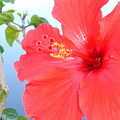 Hibiscus At Full Bloom by Chad Natti