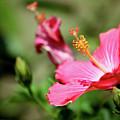 Hibiscus Bloom by Alan Look