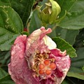 Hibiscus Bloom Closed In The Rain   End View      May           Indiana      by Rory Cubel