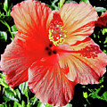 Hibiscus - Dew Covered - Beauty by D Hackett