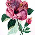 Hibiscus Dusky Rose by Karin  Dawn Kelshall- Best