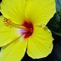 Hibiscus Flower 1 by Donna Bentley