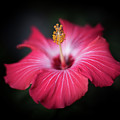Hibiscus Flower by Jakub Sisak