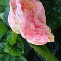 Hibiscus Heaven by Nancy Kane Chapman
