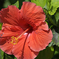 Hibiscus by Kenneth Albin
