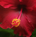Hibiscus by Linda Ebarb