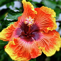 Hibiscus by Lori Leigh
