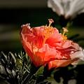 Hibiscus by Lucrecia Cuervo
