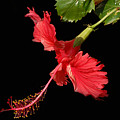 Hibiscus On Black Background by Charuhas Images