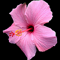 Hibiscus On Black by J M Farris Photography