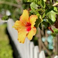 Hibiscus On The Fence Line   by Brian Eberly
