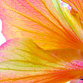 Hibiscus Petals by Ruth Palmer