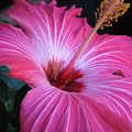 Hibiscus Photograph by Barbara Yearty