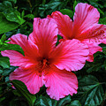 Hibiscus by Robert Moorhead